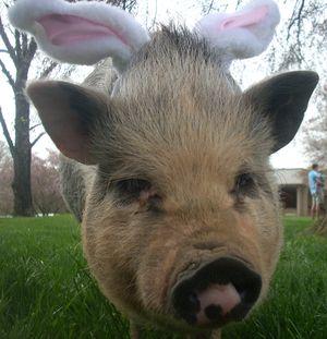 Easter Pig