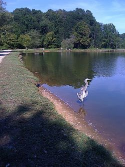 Blue Heron by McAlpine Pond