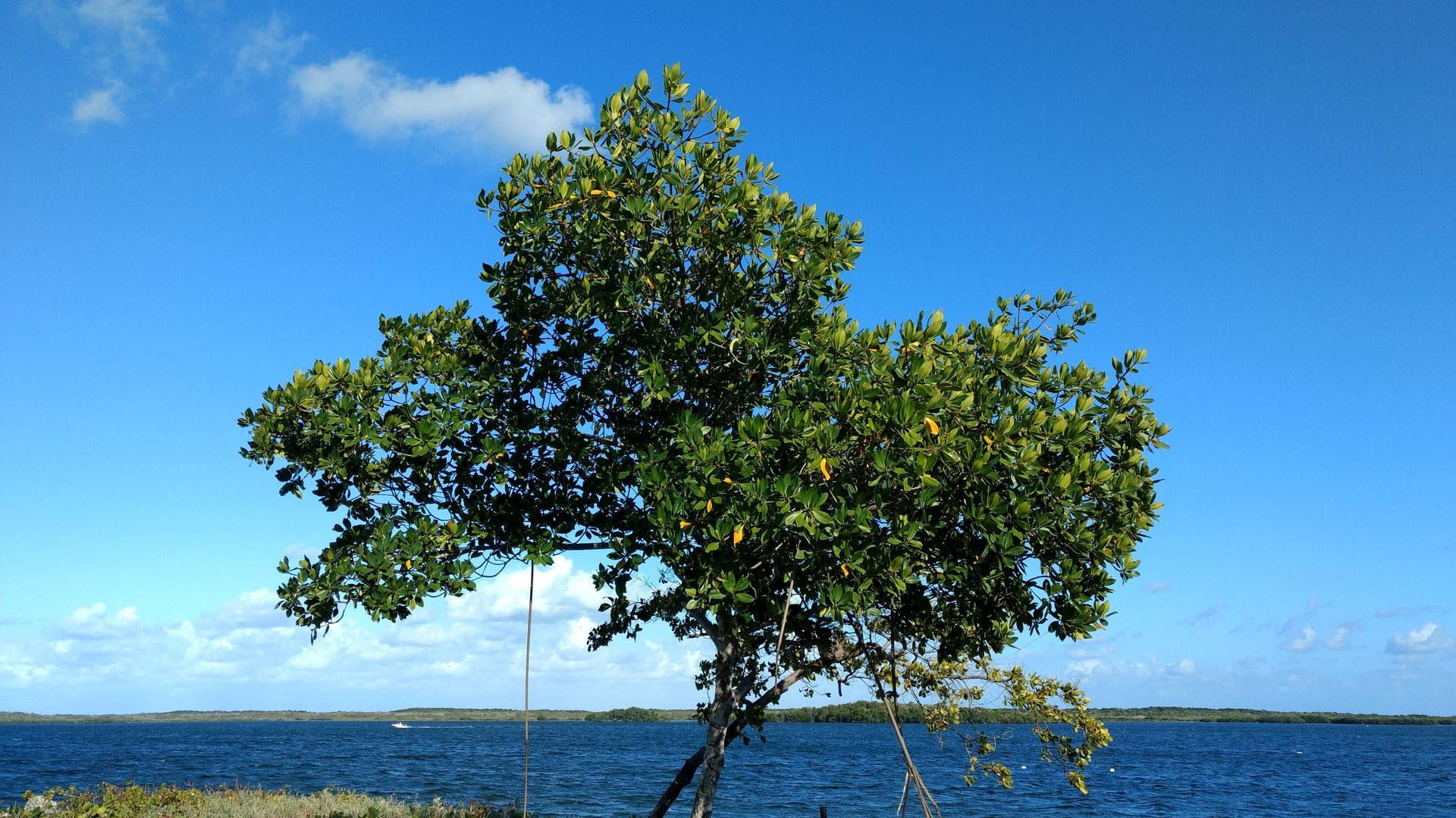 Maggie Cove Tree