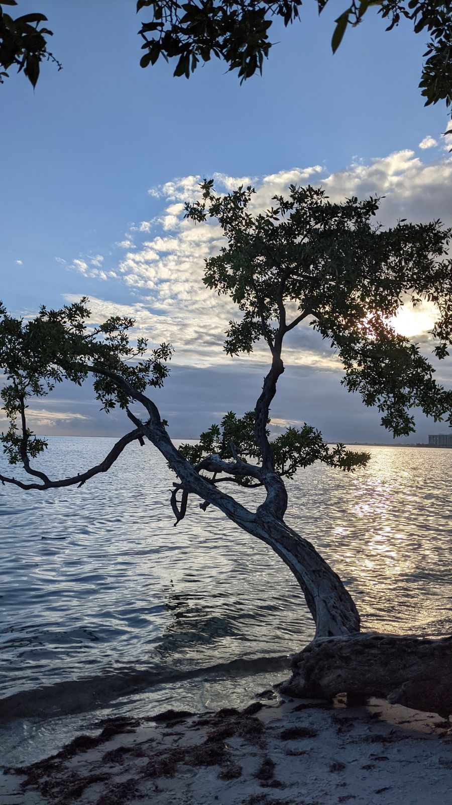 Felipe's Tree in Key Biscayne